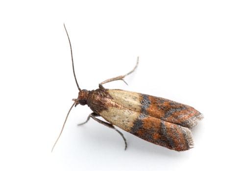 Lepidotteri delle derrate