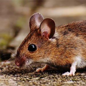 Derattizzazione Topi e Ratti